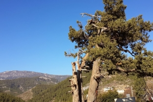Asırlık Ardıç Ağacının Hikayesi