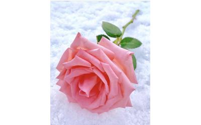 Festikan'ın Gülleri