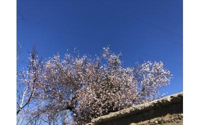 Yolumu kesen badem ağacı