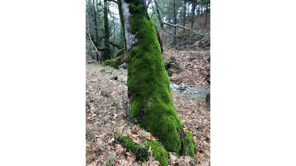Ahmetler Deresinde Ağaçlar Yeşil Yosun Giyinmiş.